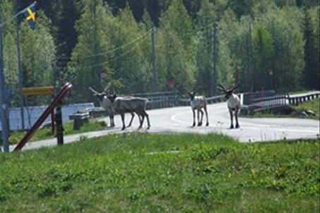 Reindeers by the campiste