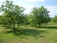 Walnut orchard for camping